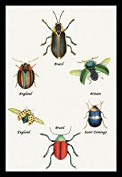 30 x 20 Stretched Canvas Poster Beetles of Brazil, Britain, England and Saint Domingo #1