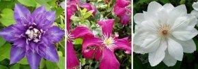 """Balkonpflanzen Set """"Clematis Blütentraum"""""""