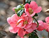 Flowering Quince (Chaenomeles × superba Pink Lady)