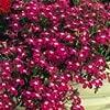 LOBELIA - ROSAMOND - 3000 FINEST FLOWER SEEDS