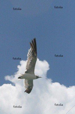 """Wallmonkeys Peel and Stick Wall Graphic - Key West Seabird in Flight - 24""""H x 16""""W"""