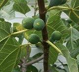 Fig Tree Plant White Kadotaby Udesignwecustomize