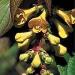 RP Seeds Leycesteria Crocothyrsos Golden Himalayan Honeysuckle Seeds