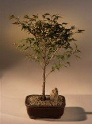 2CHIXGIFTS FLOWERING APRICOT BONSAI