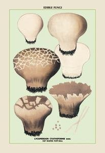 "Paper poster printed on 12"" x 18"" stock. Edible Fungi: Cup Shaped Puff-Ball"