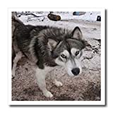 31uDU7kUOaL. SL160  Arctic Sledding Dog Churchill Manitoba Canada   10x10 Iron On Heat Transfer For White Material