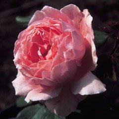 "Apuldram Roses ""BROTHER CADFAEL"" - Shrub Rose (Bare Root)"