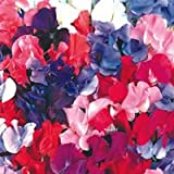 Sweet Pea - Spencer Mix Plants - (5 plants per pack) fixed p&p no matter how much you spend