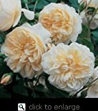 Lichfield Angel English Rose Bush -- 12 by 12 Inch Container Plant