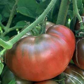 black krim tomato plant two 2 live plants not seeds each 4 7 tall in a 3 5. Black Bedroom Furniture Sets. Home Design Ideas