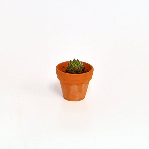 Miniature Hen and Chicks in a Tiny Pot