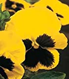 PANSY - YELLOW WITH BLACK EYE - 2000 SEEDS - BULK