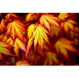 ORANGE DREAM JAPANESE MAPLE - Acer palmatum 'Orange Dream' - STUNNING ORANGE AND RED NEW SPRING GROWTH ON A DWARF JAPANESE MAPLE - 3 - YEAR TREE