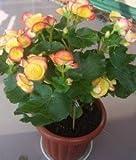 発売中!!!盆栽ホーム&ガーデンフロールのための24種類の200pcsのベゴニアの種子レアFower種子は植物の空気浄化を鉢植え