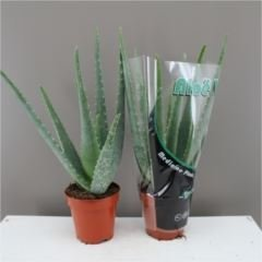 fantastic-delightful-aloe-vera-plant-excellent-healing-benefit-aloe-vera-gel-next-day-delivery-optio