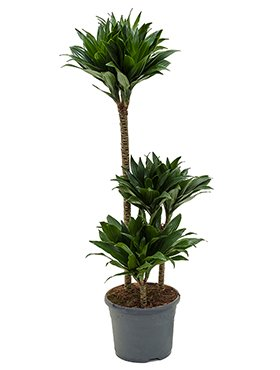 drachenbaum-dracaena-compacta-ca-90-cm-beliebte-zimmerpflanze-21-cm-topf