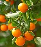 2-3 Year Old Clementine Orange Tree in Growers Pot, 3 Year Warranty