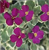 BM Plants Aubretia 'Swan Red' , 1L , Aubrieta , Perennial