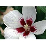 Lil Kim - Rose of Sharon - Hibiscus syriacus - Dainty - Proven Winners