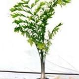 Plants Guru Fishtail Palm