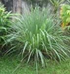 Herb Seeds - Lemon Grass - 500 Seeds