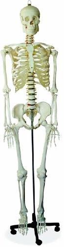 Scientific Anatomical Model : Life Size Human Skeleton