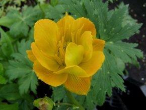 Trollblume 'Golden Queen' - Trollius chinensis 'Golden Queen' - Staude von Native Plants