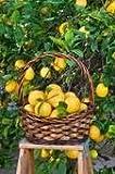 Improved Meyer Lemon Tree(No Shipping to: CA, FL,TX, LA, AZ, HI)