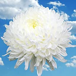 50 Fresh Cut White Chrysanthemum Disbud Flowers | Fresh Flowers Express Delivery | Perfect for Birthdays, Anniversary or any occasion.