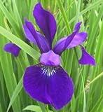 Iris sibirica 'Caesar' - In a 0.5 L square pot