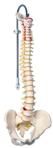 """3B Scientific A58/1 Classic Flexible Spine Model, 29.1"""" Height"""