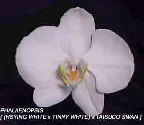 Phal. [ (Hsying White x Tinny White) 'Orchidheights' x Taisuco Swan 'Pisgah'] 1575H - Buy Phal. [ (Hsying White x Tinny White) 'Orchidheights' x Taisuco Swan 'Pisgah'] 1575H - Purchase Phal. [ (Hsying White x Tinny White) 'Orchidheights' x Taisuco Swan 'Pisgah'] 1575H (Orchids R Us, Home & Garden,Categories,Patio Lawn & Garden,Plants & Planting,Outdoor Plants,by Moisture Needs,Moderate Watering)
