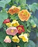 Abutilon hybridum maximum seeds