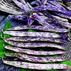 25 + Dragon Tongue Bush Bean Seeds