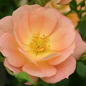 Roses - Peachy Cream Rose