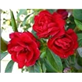 SD1500-0537 Camellia Impatiens - Secret Flower Series Flower Seeds, Non-Genetically Modified Seeds (16 Seeds)