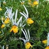 Nemesia - Masquerade - 40 Seeds
