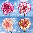 Wholesale Bi-Color Carnations | 350 Bi-Color Carnations