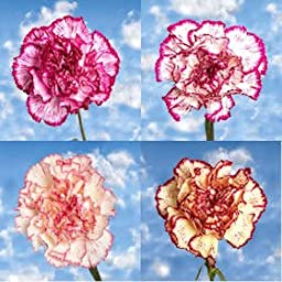 300 Fresh Cut Bi-Color Carnations | Fresh Flowers Wholesale Express Delivery | Perfect for Birthdays, Anniversary or any occasion.