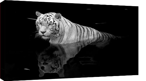 LARGE TIGER CANVAS PICTURE BLACK  &  WHITE BOX CANVAS mounted and ready to hang 36 x 20 inches (91 x 52 cm)