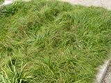 Segge The Beatles - Carex caryophyllea The Beatles - Ziergras von Native Plants
