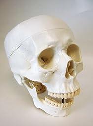 Life Size Model Human Skull