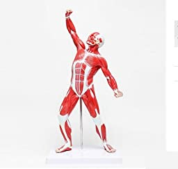 APHRODITE New Human Muscle And Skeleton Anatomy Learning Education Model 50CM