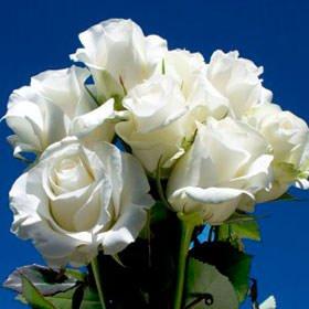 75-fresh-cut-white-roses-with-a-creamy-yellow-center-long-stem-aquito-roses-fresh-flowers-express-de
