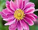Japanese anemone (Anemone hupehensis var. japonica Pamina)