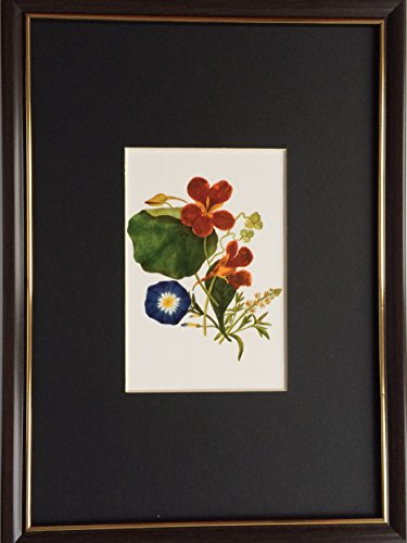 framed-and-mounted-collectable-art-royal-horticultural-society-convolvulus-tricolor-by-caroline-mari