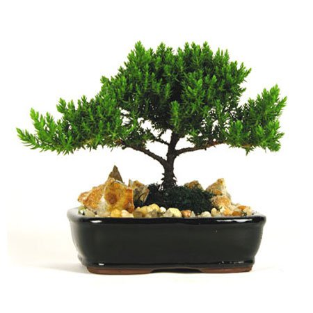 Buy Best Bonsai Juniper Tree For Sale 20 80 Off Bonsai Tree Japanese Juniper 4 6 Year Old Planted In 6 Inch Container Grown By Eve S Garden Review