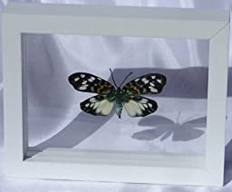 Erasmia Chinesis Butterfly in Double Glass Display