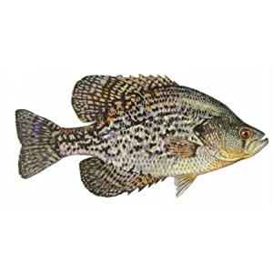 Fish Stix - Crappie Decal
