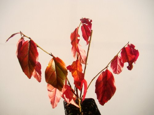 parrotia-persica-persian-ironwood-fresh-starter-plant-12-15cm-tall-in-a-7cm-pot-small-tree-with-spec